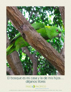 Paso Pacifico (pasopacifico.org) is a non-profit organization working with local communities in the Paso del Istmo to restore forest habitat and reverse the loss of native wildlife. The Yellow-Naped Amazon Parrot is a flagship species for this effort.